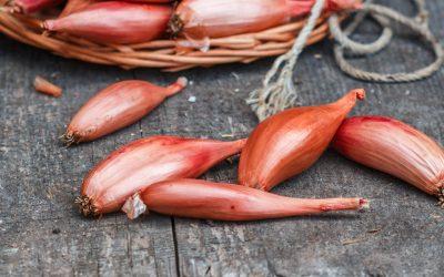Échalote traditionnelle ou échalote de semis ?