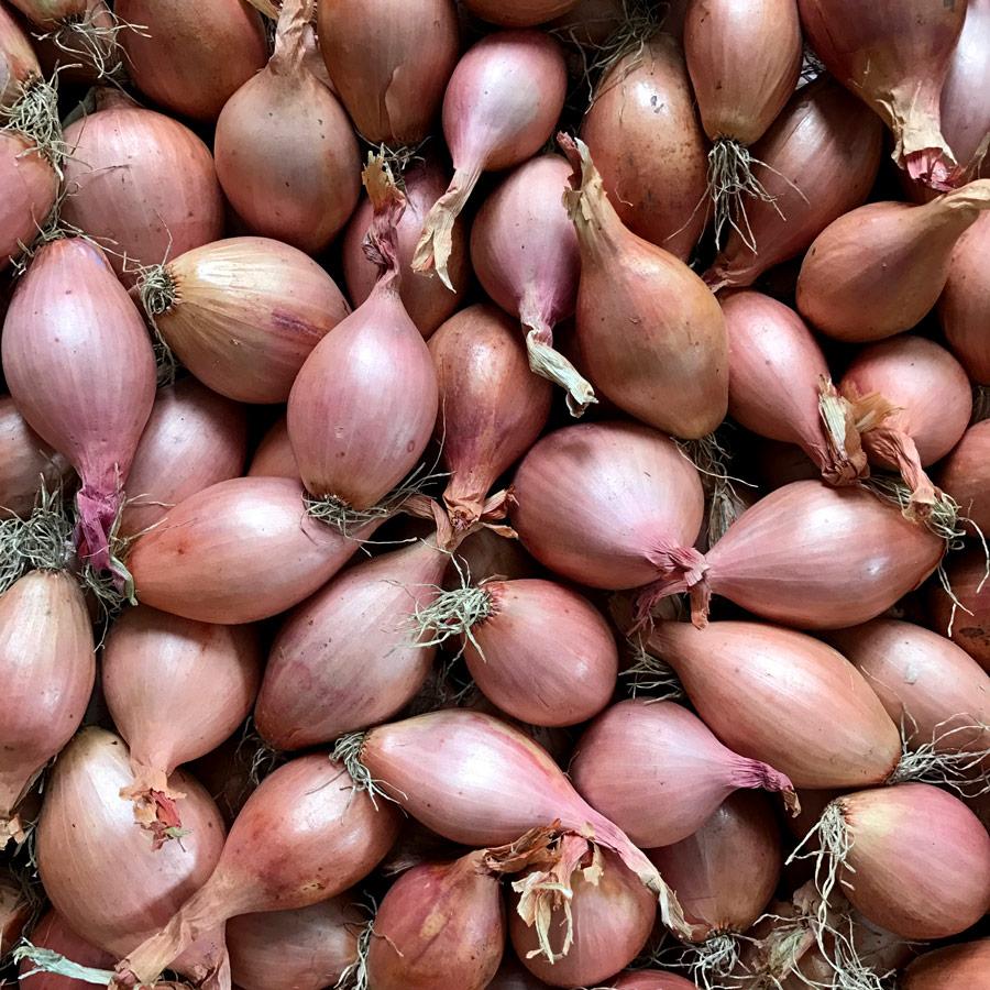 Comment Planter De L Échalote Échalote traditionnelle ou échalote de semis ? | ferme des